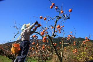 近江今津の富有柿