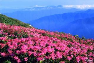 Ibukiyama alpine plant