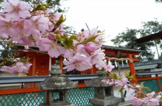 岡田鴨神社の桜