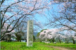 恭仁宮跡の桜