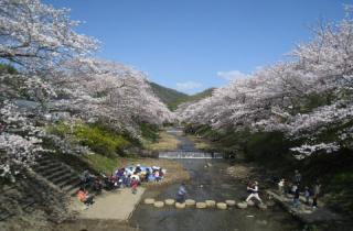 井出町の桜