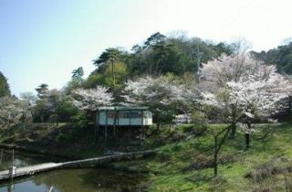 くつわ池の桜