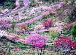 櫻花的山櫻花華園