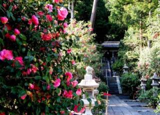 Camellia Matsuri★38201ba2212053913