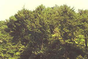 トガサワラ原始林