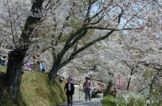 高野口公園桜まつり