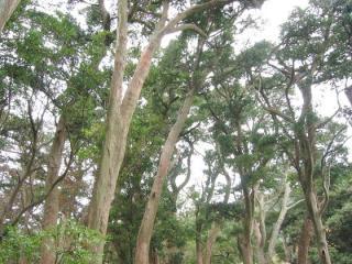 イヌマキの純林
