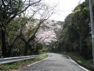 比井崎海岸桜並木道