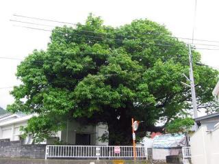 産湯の榕樹
