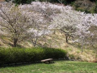 西山千本桜とツツジ