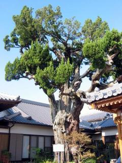 誓願寺のイブキ