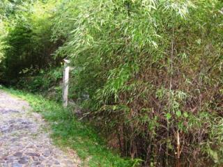 原谷の黒竹