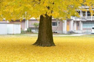 旧日野上小学校の大銀杏