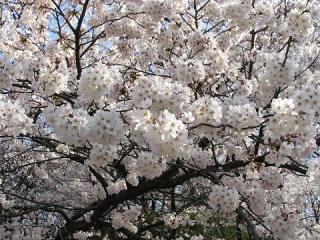 安来公園桜まつり