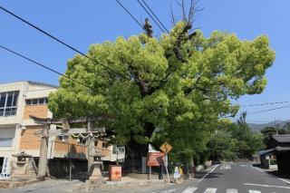 安倉八幡のクスの木