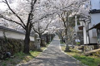 今高野山の桜
