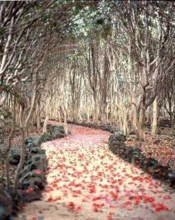 Mt. Kasa-yama camellia gregariousness forest / camellia