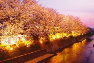 切戸川河川公園/さくら(ライトアップ)