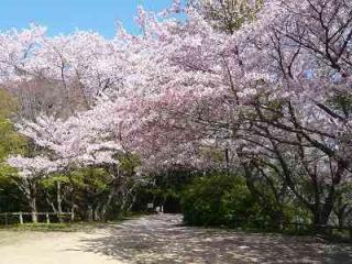 若山公園/さくら