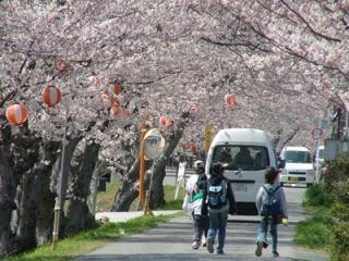 田布施川桜並木