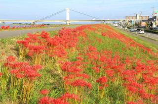 しらさぎ大橋の彼岸花
