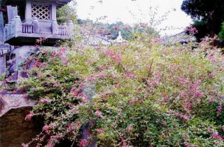 最明寺の萩の花