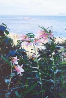 小與島的細竹百合