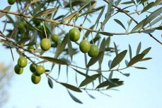 橄欖收獲節