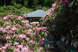 横峰寺の石楠花
