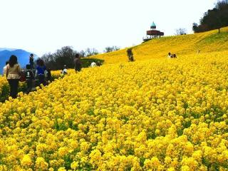 翠波高原に咲く菜の花