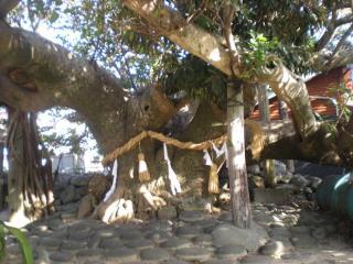 アコウの樹