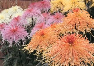 西日本菊花大会