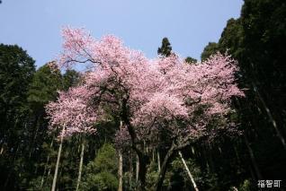 虎尾巴櫻花