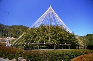 嬉野の大チャノキ(大茶樹)