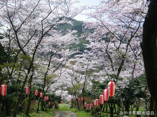 白坂公園の桜並木