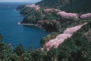 湯の児海岸道路桜並木