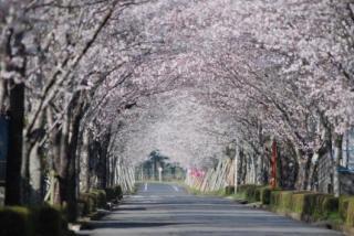 まきばの桜まつり