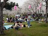 千本桜(いちょう公園)