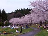 千本桜(下田公園)