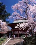 鹽竈神社の鹽竈桜