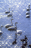 白石河天鵝飛來地