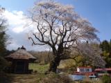 ウバヒガン桜