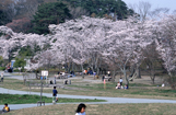 加頼沼の桜