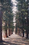 大雄寺参道の杉並木