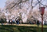 大森公園的櫻花