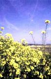 渡良瀬川の菜の花