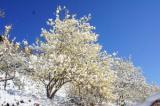 桜山公園のロウバイ