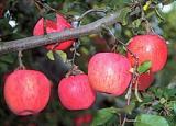 りんご狩り体験