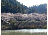 洞庭湖の桜