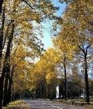信州大学農学部のユリノキ並木